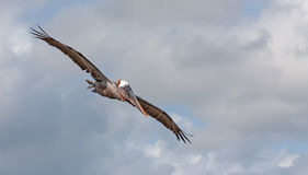 Pélicans de vol photos libres de droits