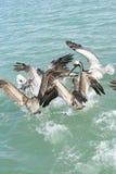 Pélicans de vol verticaux Photographie stock