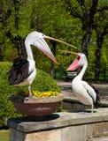 Pélicans en parc Photos libres de droits