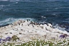 Pélicans et oiseaux de Cormorant de Brandt sur des roches Images libres de droits