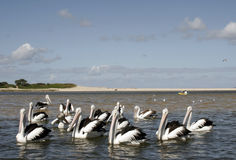 Pélicans et plage Photographie stock
