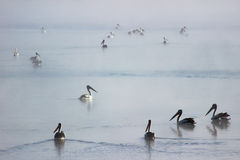 Pélicans flottant sur l'eau brumeuse Photographie stock libre de droits