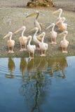 Pélicans le long du rivage Photo libre de droits