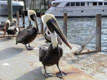 Pélicans marchant dans la ligne photographie stock libre de droits
