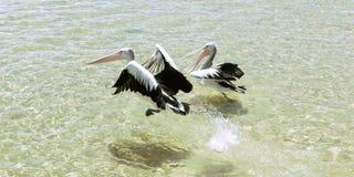Pélicans nageant dans l'eau Image stock