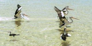 Pélicans nageant dans l'eau Photo libre de droits