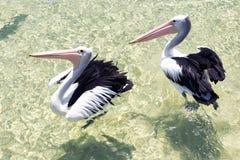 Pélicans nageant dans l'eau Photo stock