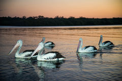 Pélicans nageant dans le coucher du soleil Photographie stock