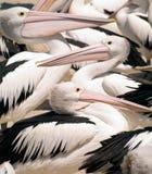 Pélicans sauvages en Australie Photographie stock libre de droits