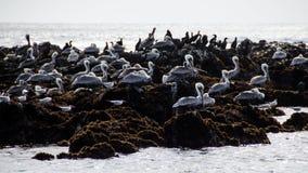 Pélicans se reposant sur des roches près de l'océan Image libre de droits