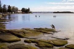 Pélicans se tenant sur des roches au rivage à l'Australie d'entrée Image libre de droits