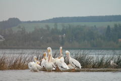 Pélicans se toilettant au rivage de lac d'été Image stock