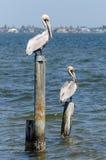 Pélicans sur des pylônes images libres de droits