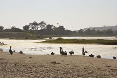 Pélicans sur la lagune de Malibu Photos stock