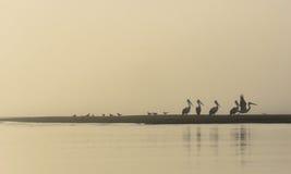 Pélicans sur la plage de Nudgee dans l'Australie Images libres de droits