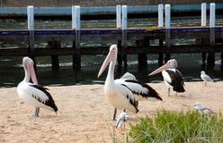 Pélicans sur la plage, entrée de lacs, Australie Image stock