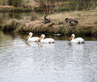 Pélicans sur le lac avec des oies Image libre de droits