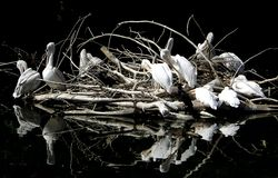 Pélicans sur le lac dans le zoo de Moscou photos stock