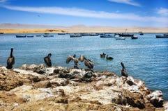 Pélicans sur le littoral péruvien Photo libre de droits