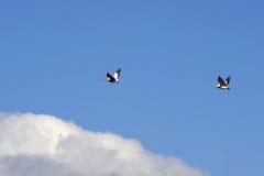 Pélicans sur le vol Photos stock