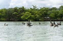 Pélicans sur les roches Photo libre de droits