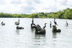 Pélicans sur les roches Photo stock