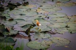 Pélicans sur une feuille de lotus Image libre de droits