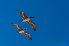 Pélicans volant dans la formation Photographie stock