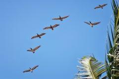 Pélicans volant en vol souvent avec des oiseaux de frégate ou de ciseaux dans la formation dans Puerto Vallarta Mexique Image libre de droits