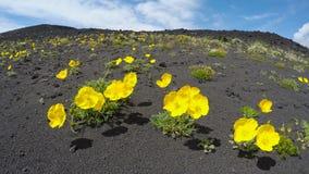 Péninsule de Kamchatka sauvage de flore : le jaune fleurit le microcarpum de pavot (la famille de pavot) clips vidéos