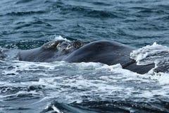 Péninsule de Valdes - Argentine La baleine photographie stock libre de droits