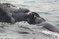 Péninsule de Valdes - Argentine La baleine images libres de droits