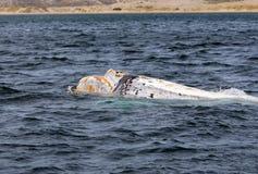 Péninsule de Valdes - Argentine La baleine blanche photo libre de droits