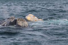 Péninsule de Valdes - Argentine Les baleines photographie stock libre de droits