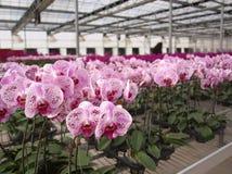 Pépinière d'orchidée de large échelle Image libre de droits