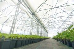Pépinière d'usine de serre chaude Jeunes plantes de ressort, élevage de jeunes usines Photographie stock