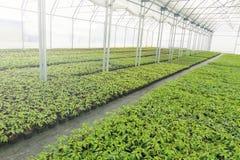 Pépinière d'usine de serre chaude Jeunes plantes de ressort, élevage de jeunes usines Photo stock