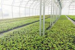 Pépinière d'usine de serre chaude Jeunes plantes de ressort, élevage de jeunes usines Photographie stock libre de droits