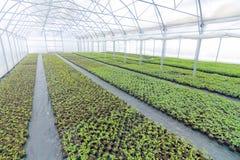 Pépinière d'usine de serre chaude Jeunes plantes de ressort, élevage de jeunes usines Images stock
