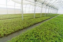 Pépinière d'usine de serre chaude Jeunes plantes de ressort, élevage de jeunes usines Image libre de droits
