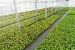Pépinière d'usine de serre chaude Jeunes plantes de ressort, élevage de jeunes usines Images libres de droits