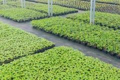 Pépinière d'usine de serre chaude Jeunes plantes de ressort, élevage de jeunes usines Photo libre de droits
