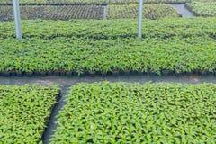 Pépinière d'usine de serre chaude Jeunes plantes de ressort, élevage de jeunes usines Photos stock