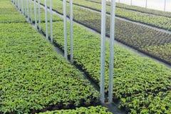 Pépinière d'usine de serre chaude Jeunes plantes de ressort, élevage de jeunes usines Photos libres de droits