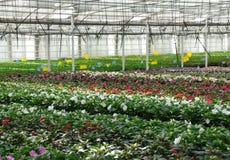 Pépinière de fleur. Serre chaude avec les plantes cultivées. Images stock