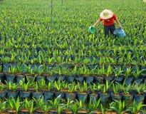 Pépinière de palmier à huile Photographie stock