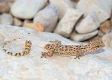 Pérdida de la cola del lagarto - salamandra mediterránea Imagen de archivo