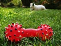 Pérdida del juguete del perro imagen de archivo libre de regalías