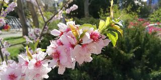Période d'espoir Branchement fleurissant de p?che Fond photos stock
