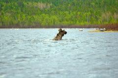 Période de la migration 6 Les orignaux amplifient au loin au nord de la rivière Photographie stock